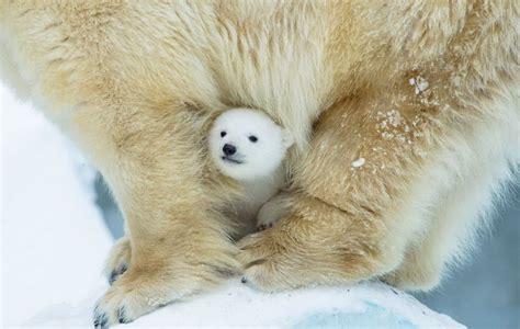 20 adorable photos of baby polar bears that will melt your