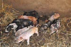 Super Cute Baby Pigs