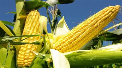Maize Farmers Association of Nigeria secure $41.2m from ...
