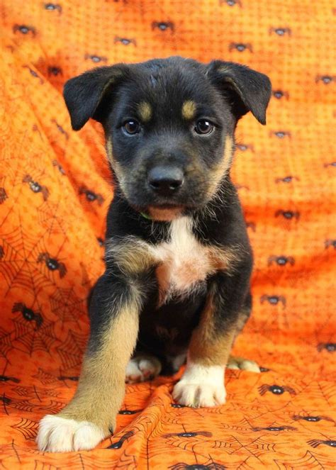 rottweiler mix www imgkid the image kid has it