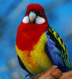 Red Rosella Parrot