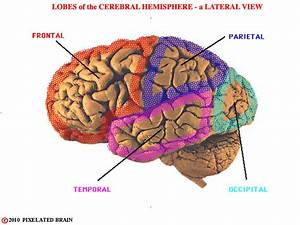 Brain Hemispheres And Lobes | www.pixshark.com - Images ...