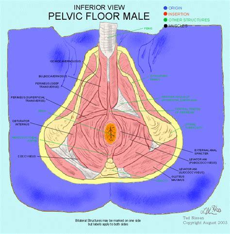 male pelvic floor muscle male pelvic pain pinterest