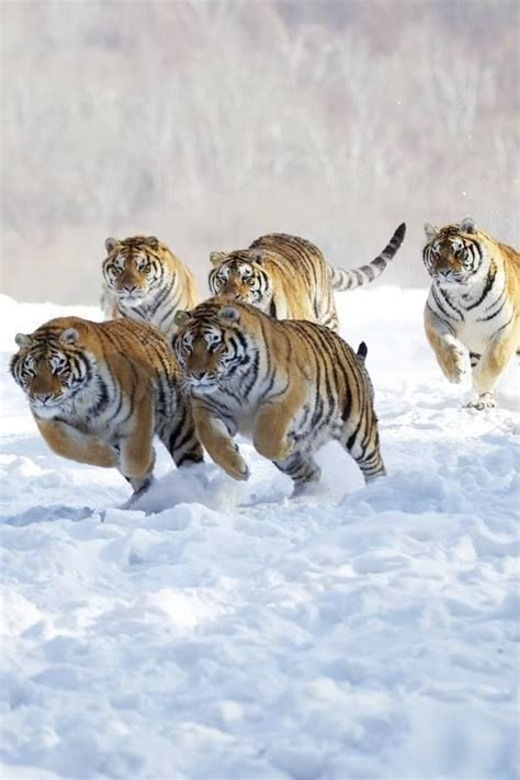 Best For The Love Tigers Images Pinterest Big