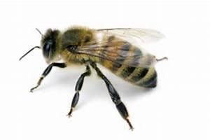 Carpenter Bees vs. Honey Bees | Learn the Difference and ...