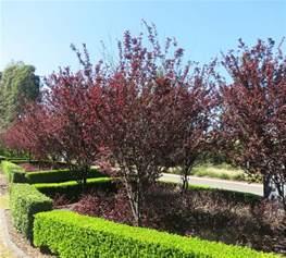 purple leaf ornamental plum prunus nigra prunus garden ideas and gardens