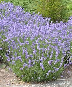 Plant De Lavande : achetez maintenant une plante vivace lavande 39 munstead ~ Nature-et-papiers.com Idées de Décoration