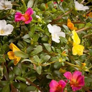 Portulak Pflanzen Kaufen : portulak portulaca grandiflora pflanzen 02437 certi ~ Michelbontemps.com Haus und Dekorationen