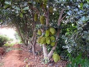 Products - Jackfruit Tree Manufacturer inKolar Karnataka ...