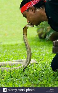 Man kissing king cobra on the head. The king cobra ...