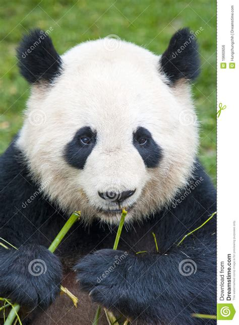 giant panda bear eating bamboo stock photo image