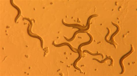 class  photoreceptor discovered   elegans