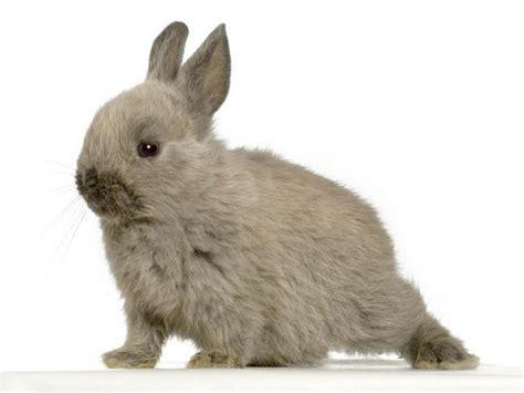 l accouplement des lapins reproduction du lapin