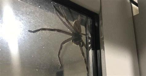 una pareja se ha topado  una arana gigante en australia