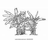 Plantation Banana Tree Sketch Vector Drawn sketch template