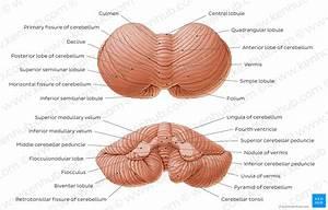 Human Anatomy Labeled Diagrams