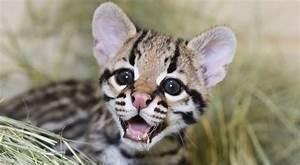 Ocelot Kitten Is Born at Cameron Park Zoo in Texas - Softpedia