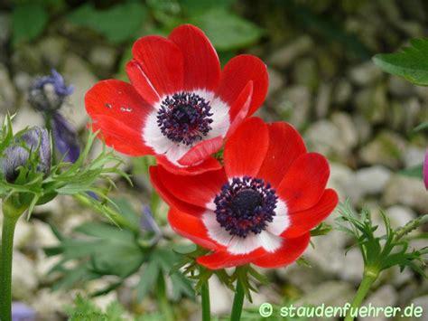 Kronen Anemone by Anemone Coronaria Staudenfuehrer De