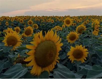 Aesthetic Gifs Miracle Yellow Sunflower Sunflowers