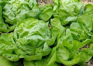 Salat Selber Anbauen : kopfsalat anbauen freilandkultur und salat im gew chshaus ~ Markanthonyermac.com Haus und Dekorationen