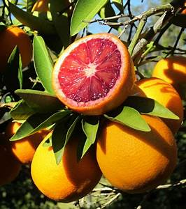 Moro Blood Orange Tree for Sale| Fast Growing Trees
