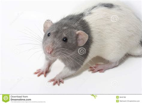 Rattus Norvegicus Dumbo Fancy Rat Stock Photo - Image: 9849788