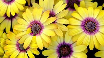 Flowers Daisy Petals 1080p 720p Fhd Hdv