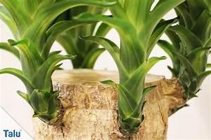 Yucca Palme Winterhart : yucca palme abschneiden so k rzen sie zu gro gewordene palmen ~ Frokenaadalensverden.com Haus und Dekorationen