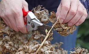 Wann Pflanzt Man Hortensien : erfrorene hortensien so retten sie die pflanzen mein sch ner garten ~ Yasmunasinghe.com Haus und Dekorationen