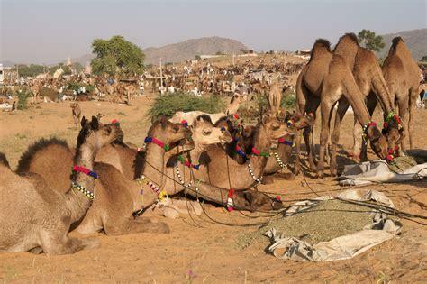 Pushkar Camel Festival Background by Festival Spotlight The Pushkar Camel Fair Rajasthan