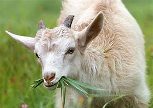 White Goat Eating Grass During Daytime  U00b7 Free Stock Photo