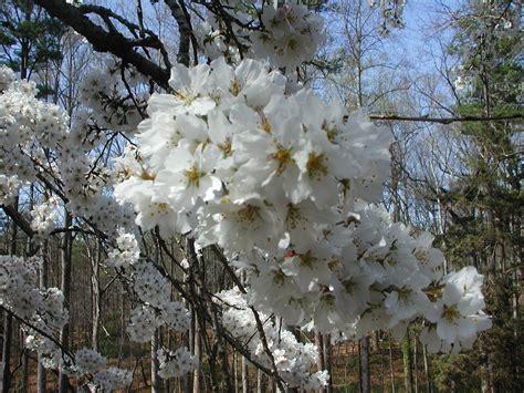 flowering japanese cherry japanese flowering cherry nature photo gallery