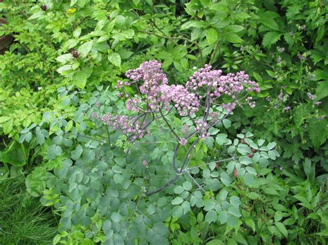 meadow rue thalictrum meadow rue rue meadow