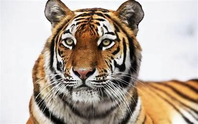 Tiger Siberian Wallpapers Bing Tigers Widescreen
