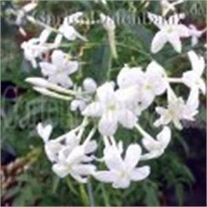Jasmin Pflanze Pflege : echter jasmin jasminum officinale schneiden pflege pflanzen bilder fotos garten ~ Markanthonyermac.com Haus und Dekorationen