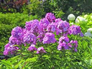 Tall Garden Phlox Perennials