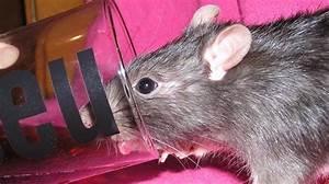Comment Se Debarrasser Des Rats : comment se d barrasser des rats utilisez du coca cola comme d ratiseur puissant ~ Melissatoandfro.com Idées de Décoration
