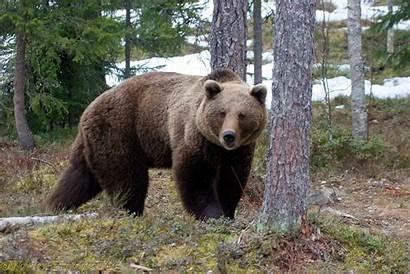 Bear Brown Snow Europe European Ursus Arctos