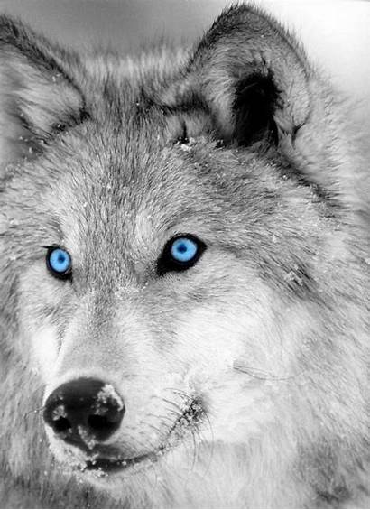Wolf Gray Grey Lupus Canis Characteristics Appearance