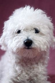 Small White Fluffy Dog Breed