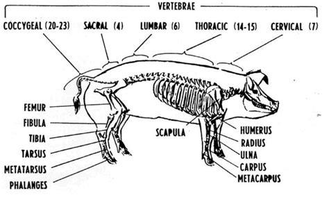Guinea Pig Diagram Label by Human Bone Chart Haku Science Animal Science