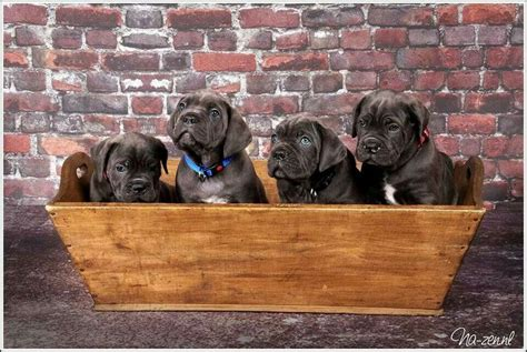 images  presa canario  pinterest making
