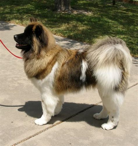 long haired akitas page 7 reptile forums