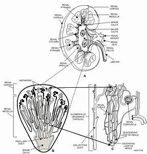 154 Best Physiology Images On Pinterest
