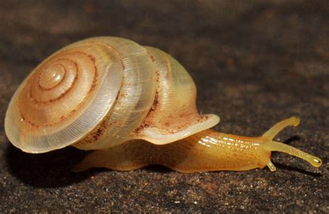 Three New Species Of Carnivorous Snails Discovered In