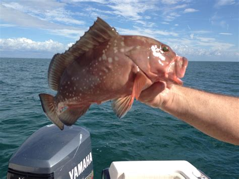 venice grouper fl fishing
