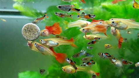 Beautifull Guppies In Slow Motion Hd Youtube
