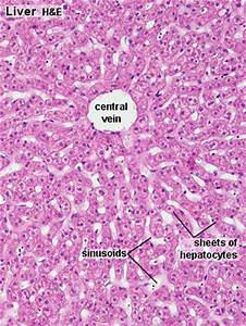 Gastrointestinal Tract - Liver Histology