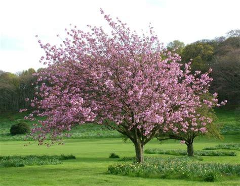 japanese magnolia tree facts louisiana nursery louisiana nursery louisiana nursery baton rouge lawn garden supplies