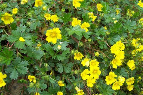 bloemen geel lange steel tuin planten www rotsvallei